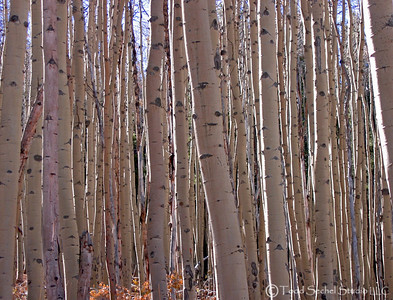 Aspen Trees - Bachelor's Gulch - Avon, Colorado