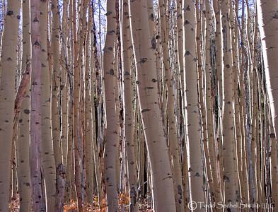 Aspen Trees - Bachelor's Gulch - Avon, Colorado