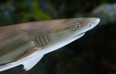 shark_1030