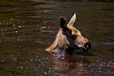 Baby Moose Gunflint Trail MN_1466