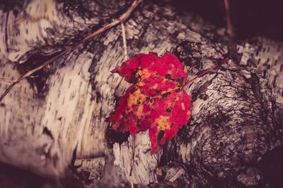 Dead Leaf On Birch