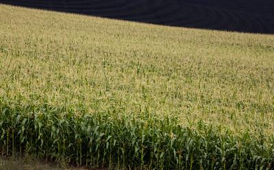 corn field_0752