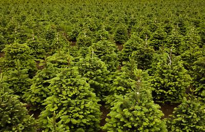 tree farm_6314