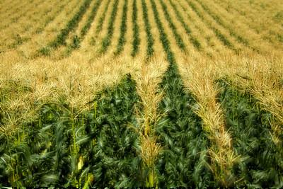 focus on corn_0995