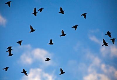 Brewer's Blackbirds_1598
