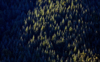Reforested Clearcut_1839