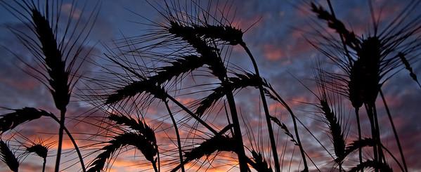 Wheat @ Sunset_1711