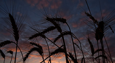 Wheat @ Sunset_1711