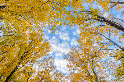 Yellow Trees And Sky In The Smoky Mountains