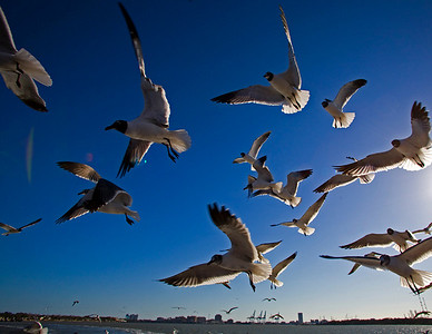 galveston gulls golour_3766