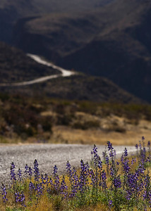 roadside lupin_3426