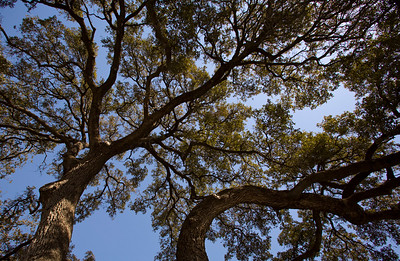 uvalde texas oak tree_3644