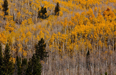 Quaking Aspens Uinta National Forest_1292