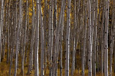 Aspen Grove_1294