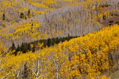 Quaking Aspens Unita National Forest_1298