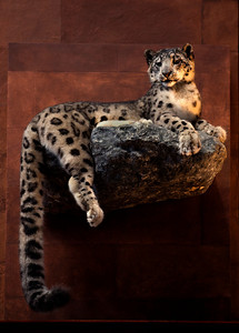 Smithsonian snow leopard_8094