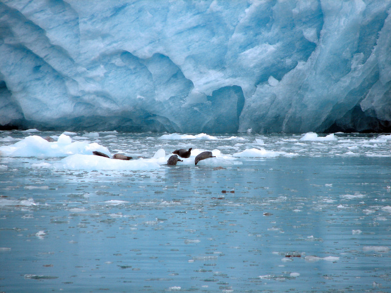 Harbor Seals at the Glacier