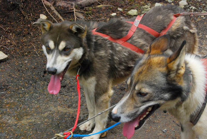 Our able-bodied sled dogs. Both are Iditirod competitors.