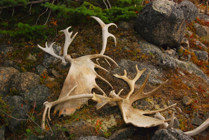 Moose and Cariboo antlers