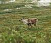 Caribou (female) by the roadside
