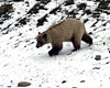 Grizzly cub enjoying the patches of snow fast receding with the approach of summer