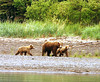 Brown bear with cubs on the beach, Katmai