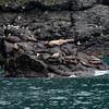 seabirds_Sealions_Kenai003