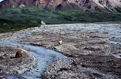 """Bear & Cub"" Denali National Park and Preserve, Alaska, USA Film photograph"
