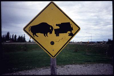 """Bull vs. Truck"" Alaska"