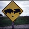 """""""Bull vs. Truck""""<br /> Alaska"""