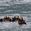 Sea otters - Kenai Fjord National Park