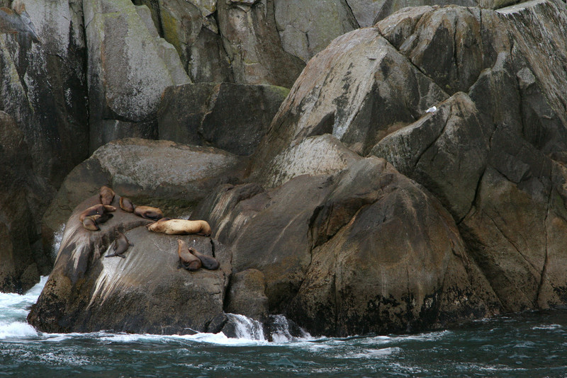 Steller Sea Lions on rocks - Kenai Fjords National Park.