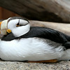 Close-up view of a puffin - Sea Life Research Center - Seward