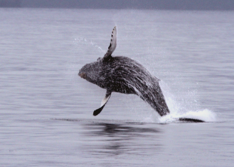 Humpback calf jumping - Kenai Fjords National Park
