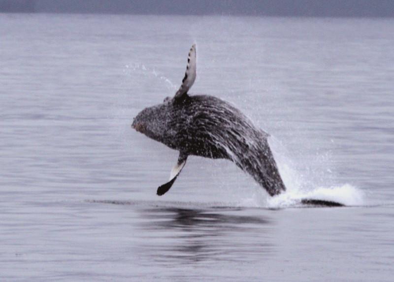 Humpback calf jumping - Kenai Fjords National Park