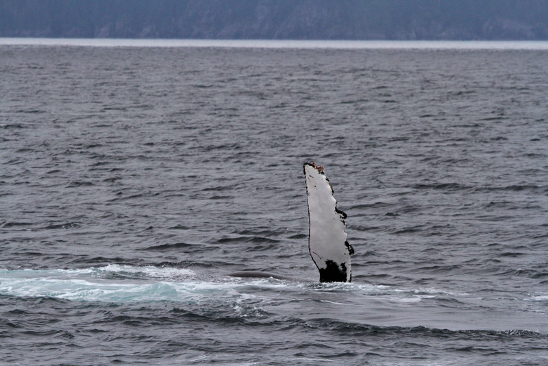 Humpback whale slapping the waters of Kenai Fjords National Park.