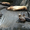 Steller Sea Lions - Kenai Fjords National Park.