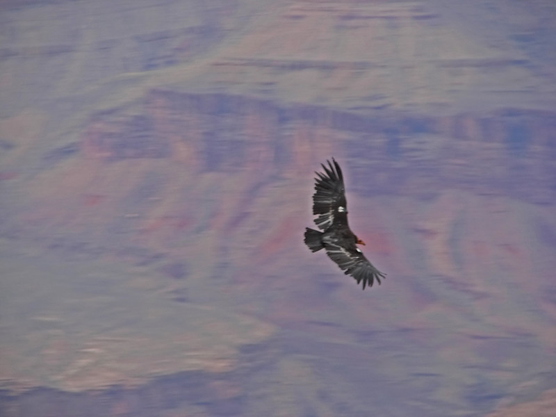 The California Condor is the largest land bird in North America.