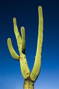 Arizona_Cactus-3