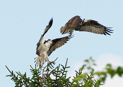 Osprey duel