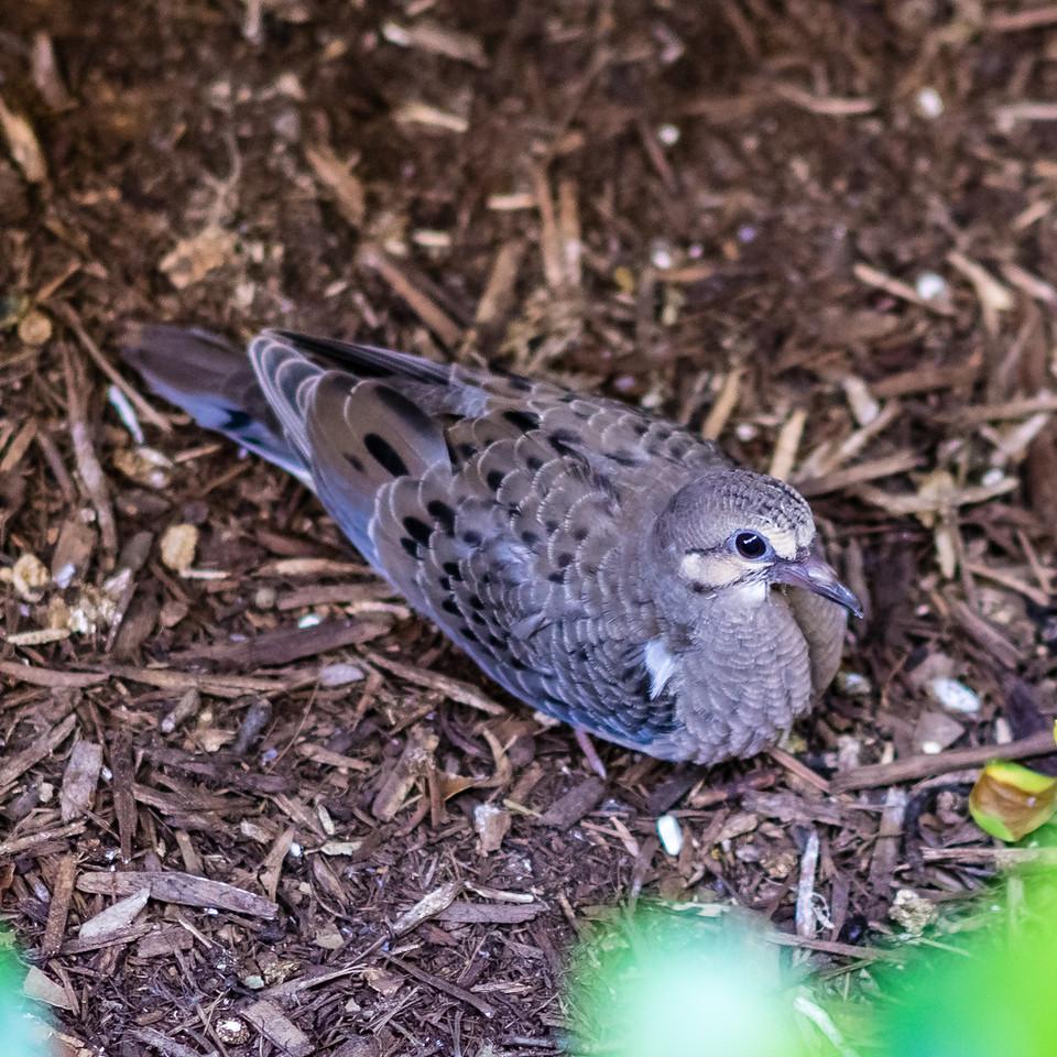 Dove, Aliso Viejo, Orange County, California, United States