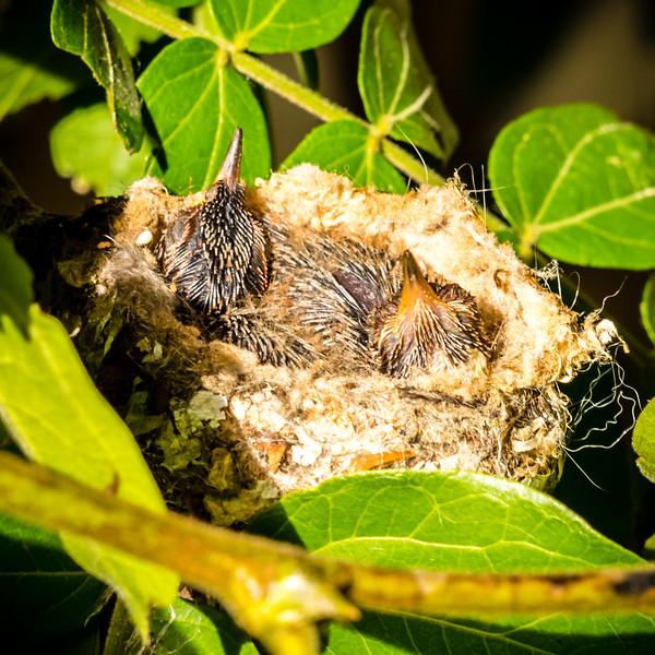 Hummingbird, Hummingbird Baby, Aliso Viejo, Orange County, California, United States