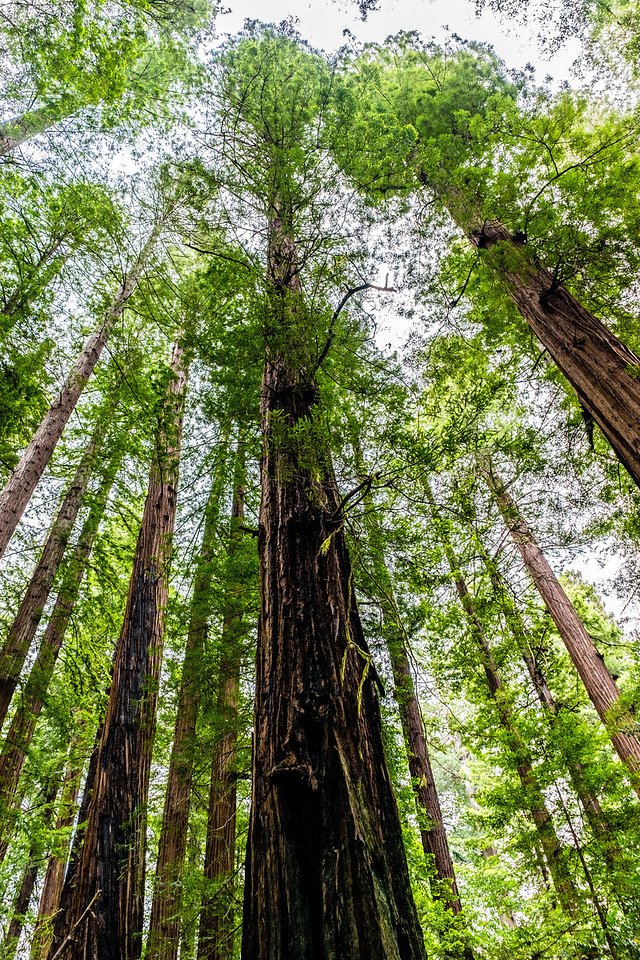 Avenue of the Giants, Humboldt Redwoods State Park. Humbolt County, California, United States