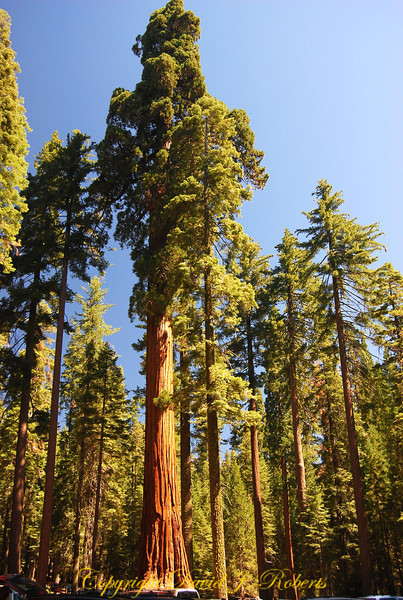 Sequoia trees, Yosemite National Park, California