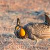 Greater Prairie Chicken (Tympanuchus cupid)