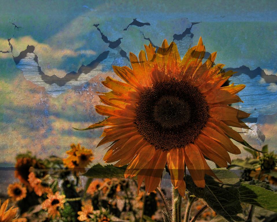 Colorado Sunflowers textured