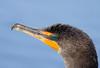 Cormorant (Anhinga Trail)