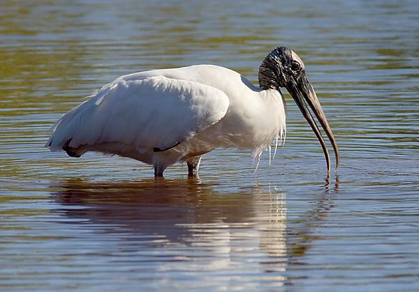 Wood Stork (Mrazek Pond-Everglades)