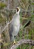 Juvenile Black crowned night heron (Anhinga Trail)