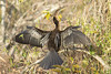 Anhinga (very common pose of drying its wings which will otherwise get water-logged)